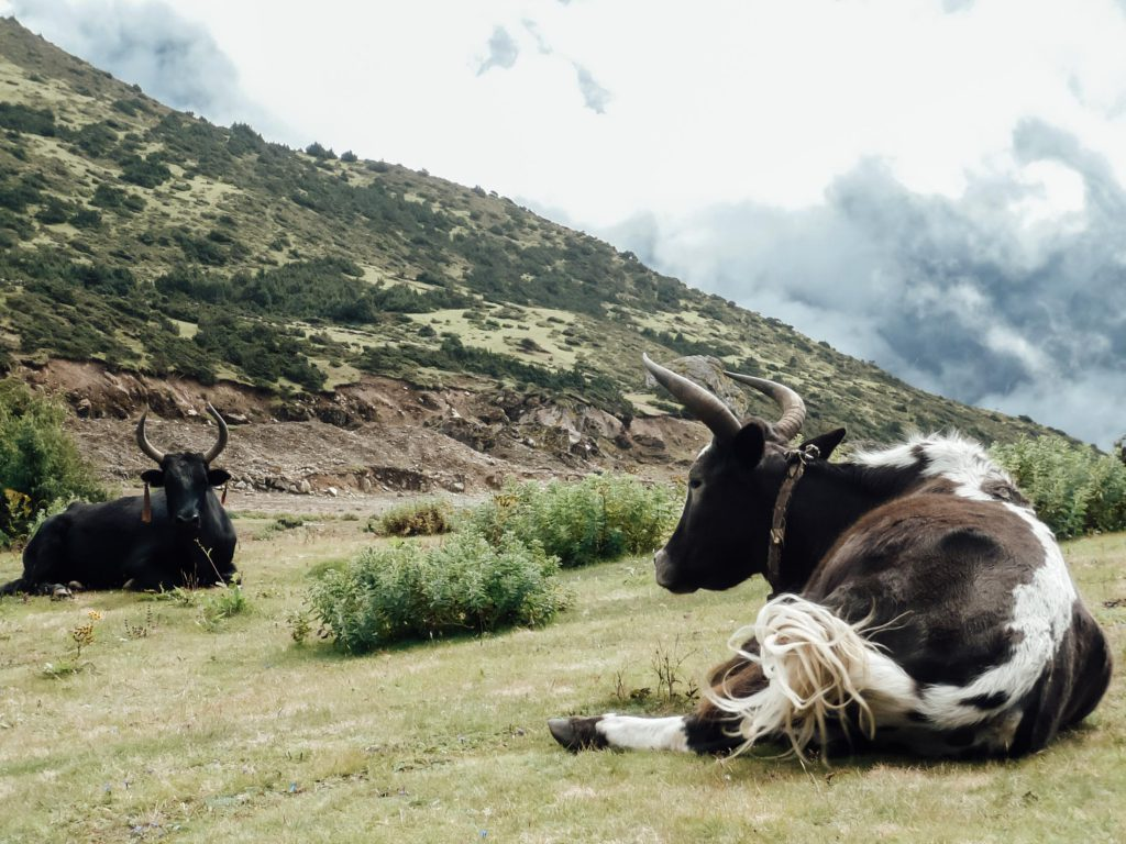 Yaks resting on Annapurna Circuit trek