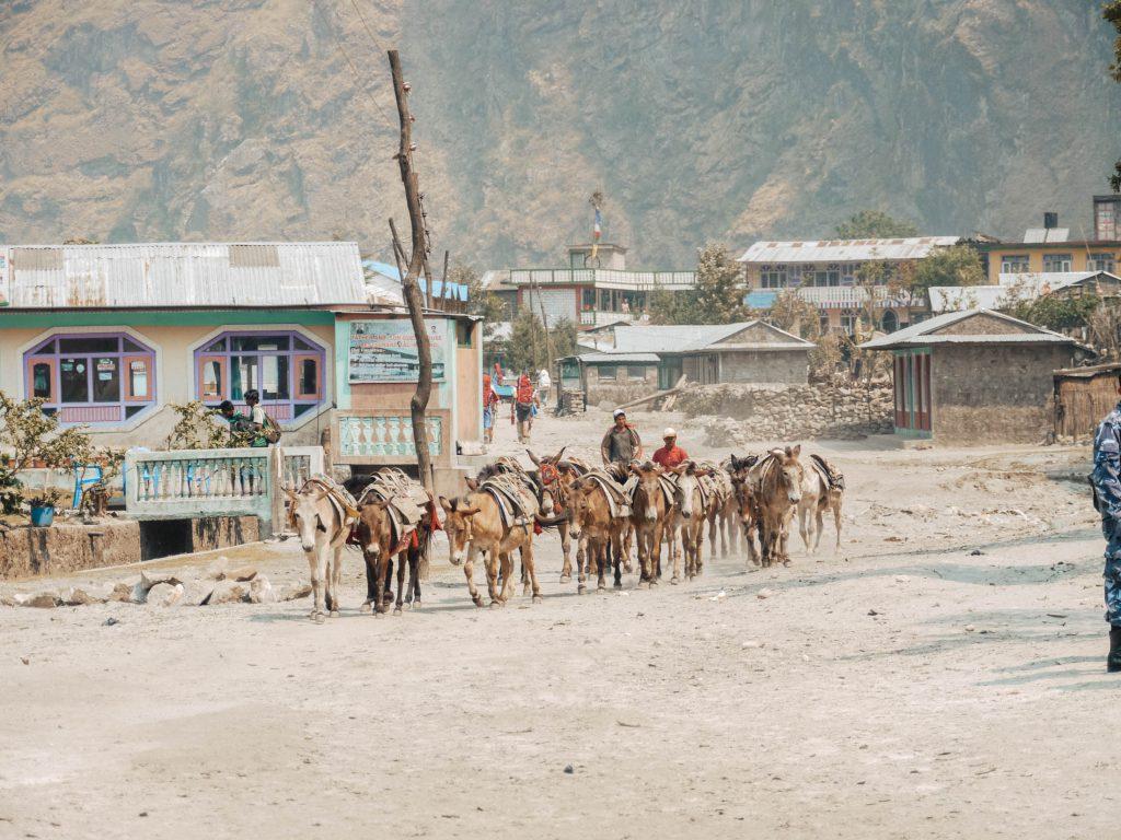 Herd of mules in the Annapurna region