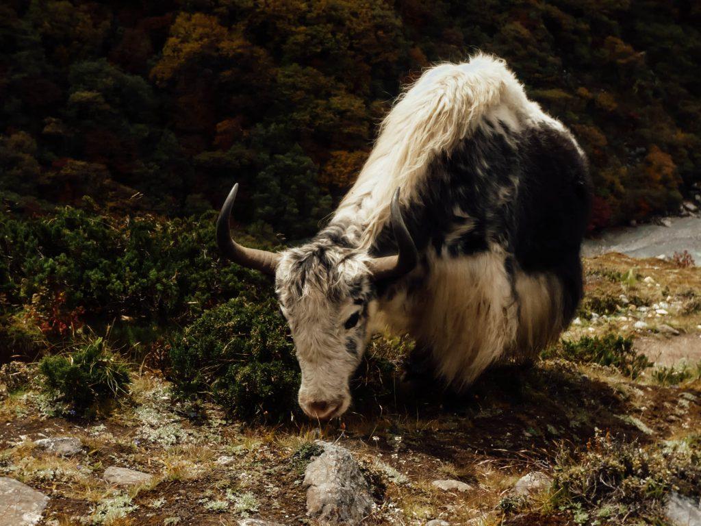 yak animals Everest base camp trek