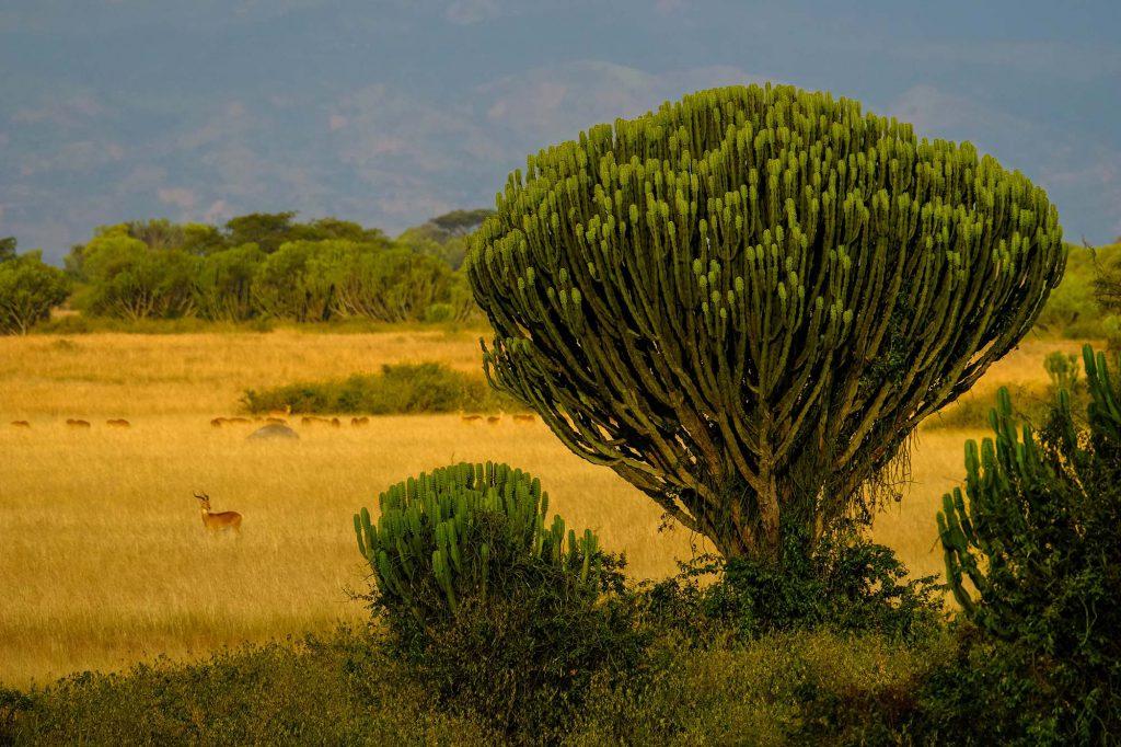 Uganda safari antelopes