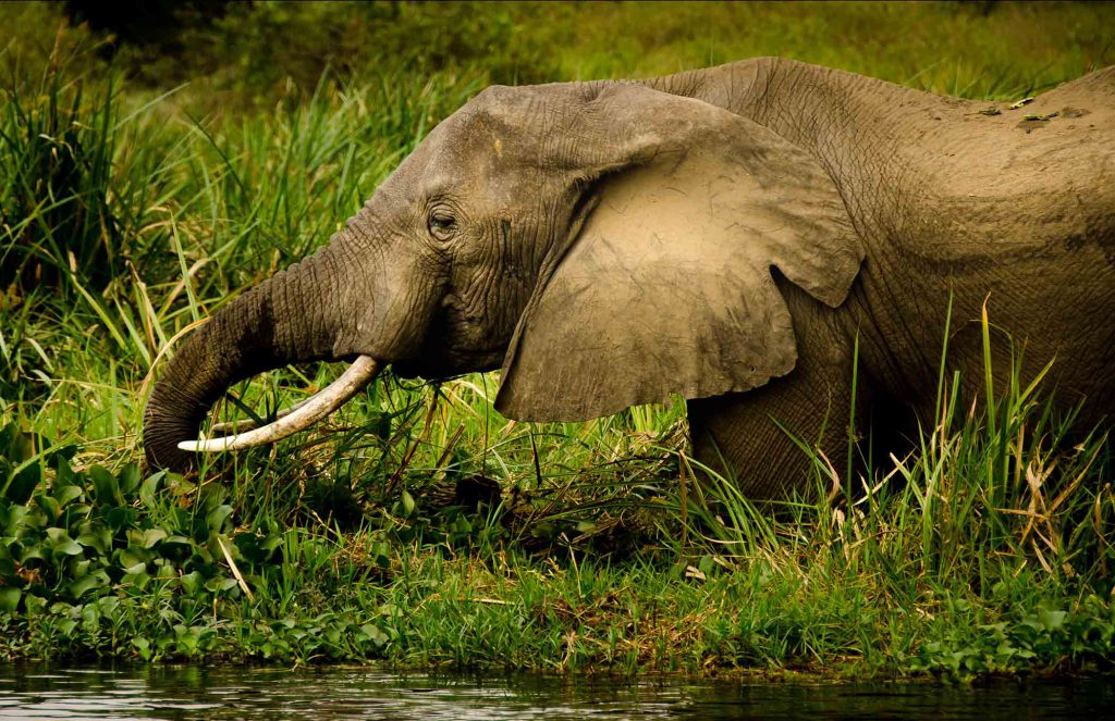 elephant, Murchison Falls National Park