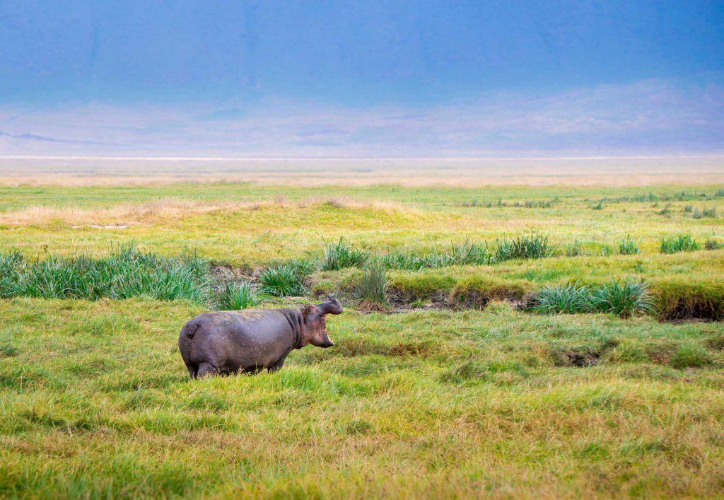 hippo Ngorongoro Crater