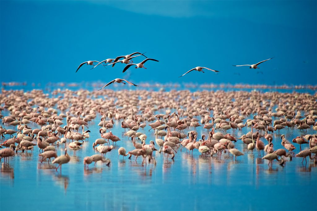 Flamingoes on Lake Manyara