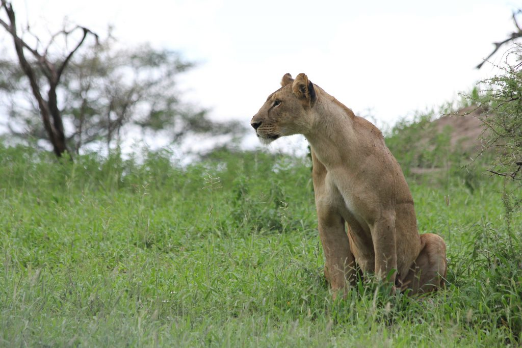 Lioness in Tarangire National Park