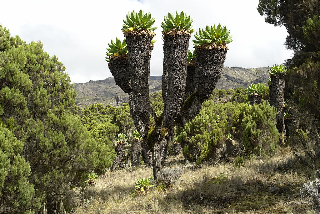 Giant groundsel Kilimanjaro National Park